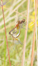 Mating dragonflies on a plant straw Royalty Free Stock Photo