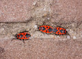 Mating firebug on a wall (Pyrrhocoris apterus) Royalty Free Stock Images