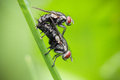 Mating flies a couple of Royalty Free Stock Image