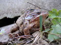 Mating frogs two common european brown rana temporaria in nature Stock Image