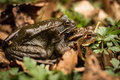 Mating frogs in the wood foliage Royalty Free Stock Photography