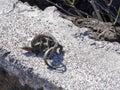 Mating Galapagos lava lizard, Microlophus albemarlensis, is endemic to the Galapagos island. Santa Cruz, Galapagos, Ecuador Royalty Free Stock Photo