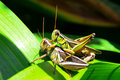Mating grasshoppers pair of in the garden Royalty Free Stock Image