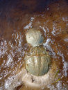 Mating horseshoe crabs on shallow ocean bottom are arthropods that live primarily in and around waters soft sandy or muddy bottoms Stock Photo