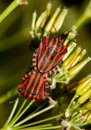Mating italian striped bugs copulating or minstrel graphosoma lineatum on wild chervil anthriscus sylvestris Royalty Free Stock Photo