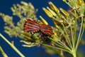 Mating italian striped bugs copulating or minstrel graphosoma lineatum on wild chervil anthriscus sylvestris Stock Image