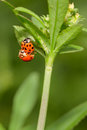 Mating Lady Bugs Royalty Free Stock Photo