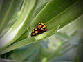 Mating Ladybird Beetles