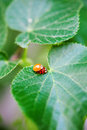 Mating Ladybirds