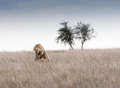 Mating lions serengeti national park tanzania Stock Photos