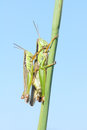 Mating locust a pair of green are on grass stem scientific name oxya chinensis Royalty Free Stock Photography