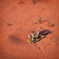 Mating locusts insect in the red desert Stock Photo