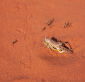 Mating locusts in the red desert Royalty Free Stock Photos