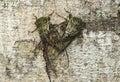 Mating neotropical Fidicina cicadas Royalty Free Stock Photo