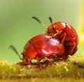 Mating of orange beetle species in nature or in garden Stock Image