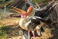 Mating painted storks the couple of Royalty Free Stock Photos
