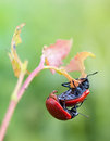 Mating poplar leaf beetle on the leaves of an aspen Stock Photography