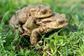 Mating toads Royalty Free Stock Photography