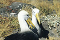 Mating Waved Albatross, Galapagos Islands Royalty Free Stock Photo