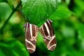 Mating Zebra Longwing Butterflies Stock Photos