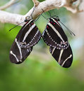 Mating Zebra Longwing Butterflies Stock Photography