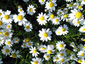 Matricaria chamomilla flowers and leaves in sunny day Royalty Free Stock Photo