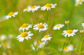 Matricaria chamomilla flowers on meadow close up view selective focus Stock Photos