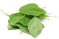 Matrimony vine leaf Royalty Free Stock Photo