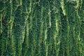 Matrix pattern of wild vitis foliage Royalty Free Stock Images