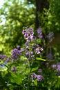 Matthiola flowers in city yard greening. Guerrilla gardening