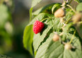 Maturation of red raspberries growing on a branch Royalty Free Stock Photo