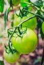 The maturation of tomatos Royalty Free Stock Photo