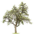 Mature apple tree on white Royalty Free Stock Photo