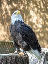 Mature Bald eagle standing poised looking up into the air Royalty Free Stock Photo
