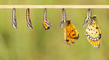 Mature cocoon transform to Tawny Coster butterfly Royalty Free Stock Photo