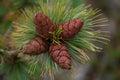 Mature cones on pine elfin.