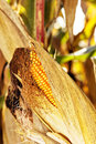 Mature corn shortly before harvest closeuo of Royalty Free Stock Photo