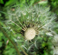 Mature dandelion seeds wings release Royalty Free Stock Photo