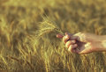 Mature, dry ears of golden wheat in a field at sunset in his hand agronomist. Royalty Free Stock Photo