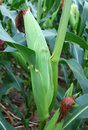 Mature ear of corn on stalk Stock Images