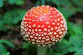 Mature Fly agaric (fly Amanita, Amanita muscaria) Royalty Free Stock Image