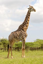 Mature giraffe male giraffa camelopardalis with red billed oxpeckers buphagus erythrorhynchus in the umkhuze kzn park kwazulu Royalty Free Stock Photo