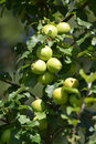 Mature green apples on a branch (Malus domestica) Royalty Free Stock Photo