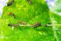 Mature larva before emerge from slough on green leaf Royalty Free Stock Images