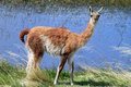 A mature llama is standing by the lake gazing at the camera shot in patagonia south america Royalty Free Stock Photography