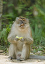 Mature macaque monkey eating fruit a with missing flesh and a canine tooth around its mouth probably due to a fight about to eat a Stock Photo