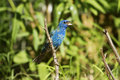 Mature male indigo bunting a during spring migration Royalty Free Stock Images