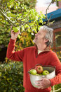 Mature Man Picking Apples From Tree In Garden Royalty Free Stock Photo