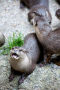 Mature otters in zoo Stock Photos