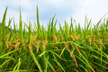 Mature rice paddy Royalty Free Stock Photo